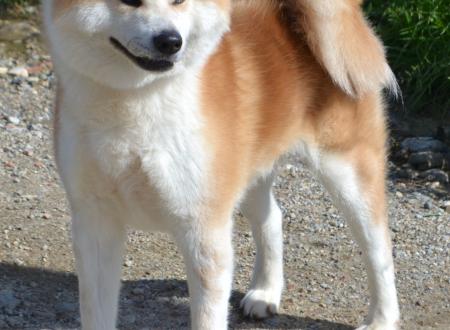 Ryuuichi Go– Stallone fulvo disponibile